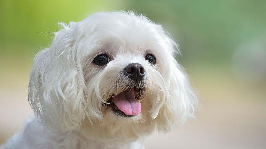 Small Guide For Maltese Dog – Part one