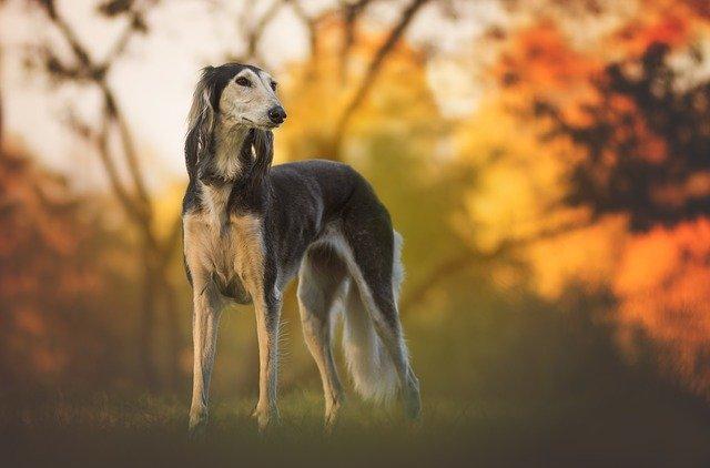 saluki-dog-breed