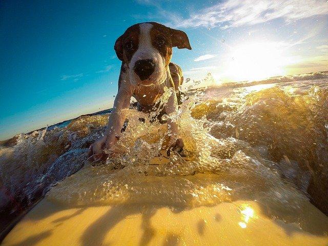 Dog Summer Heat