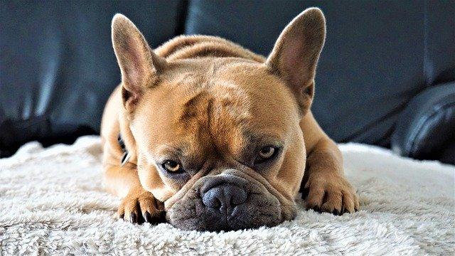 dog ears behavior